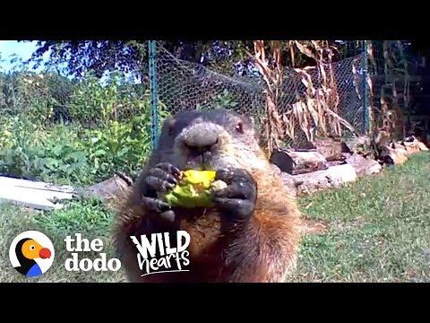 Guy Catches Adorable Groundhog Eating His Veggie Garden | The Dodo Wild Hearts