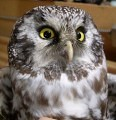boreal-owl
